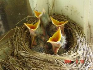 BabyBirds_Miller_061705