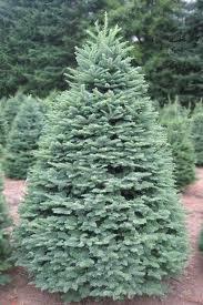 noble fir.2
