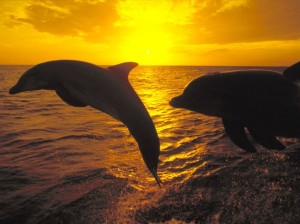 Dolphins-at-sunrise-dolphins-and-whales-3005337-1024-768